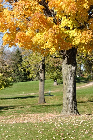 Colorful Yellow Leaves on Maple Tree in the Fall on a Golf Course