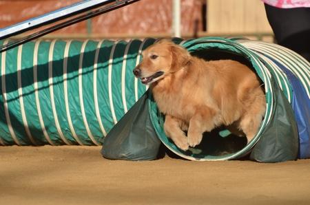 dog agility: Golden Retriever Weaving Leaving Tunnel at a Dog Agility Trial