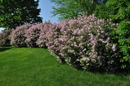 Backyard Landscaping with Pink Lilacs and Trees