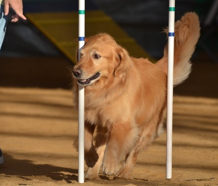 Golden Retriever Weaving Through Weave Poles at a Dog Agility Trial Stock fotó - 10919290