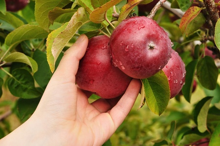 Hand Picking a Ripe Red Apples Covered with Raindrops Stock Photo