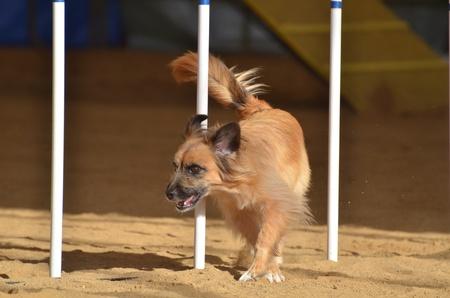 dog agility: Pyrenean Shepherd Weaving Through Weave Poles at a Dog Agility Trial Stock Photo