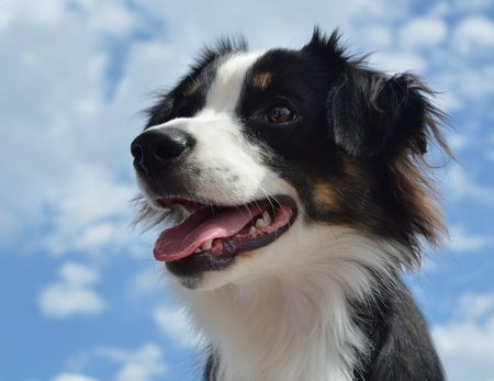 Black Tricolor Australian Shepherd (Aussie) Dog with Sky in the Background Stock Photo