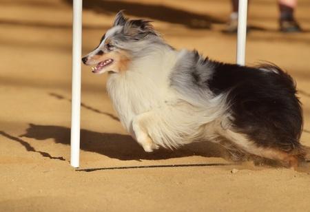dog agility: Shetland Sheepdog (Sheltie) Weaving Through Weave Poles at a Dog Agility Trial Stock Photo