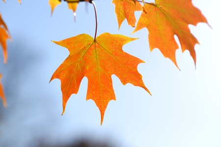 Backlit Colorful Maple Leaves in the Fall Against the Sky Stock Photo - 12774333