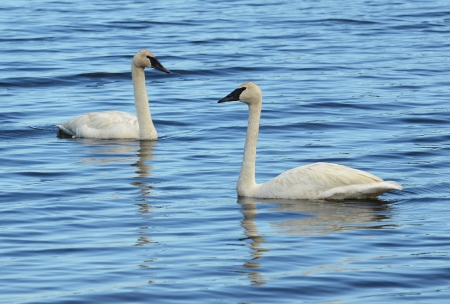 cygnus buccinator: A Pair of Trumpeter Swan  Cygnus buccinator  Swimming on a Lake Stock Photo