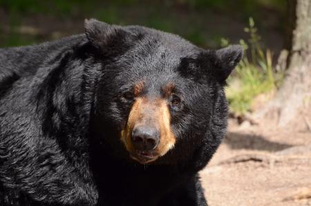 black: American Black Bear  Ursus americanus  in the Wild Stock Photo