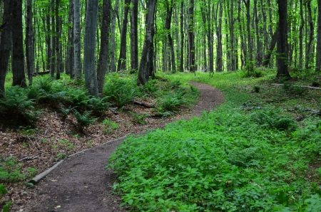 pictured: Trail Through the Forest In the Summer Stock Photo