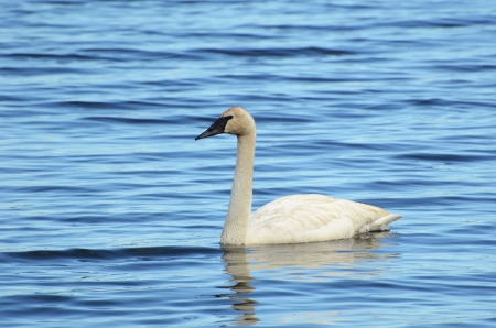 cygnus buccinator: Trumpeter Swan  Cygnus buccinator  Swimming on a Lake Stock Photo