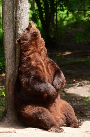 American Black Bear Rubbing His Back on a Tree Stock Photo