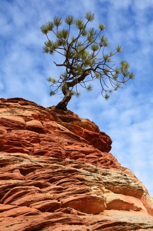 Pine  Pinyon  Tree Growing atop a Sandstone Formation in Zion National Park Imagens