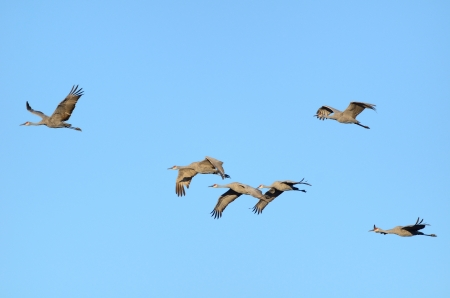roost: Sandhill Cranes  Grus canadensis  in Flight Against a Blue Sky
