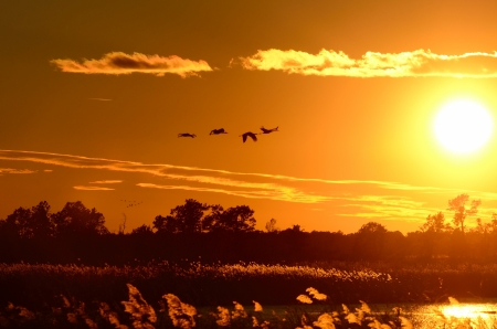 roosting: Silhouettes of Sandhill Cranes  Grus canadensis  in Flight at Sunset