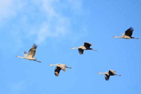 Sandhill Cranes  Grus canadensis  in Flight