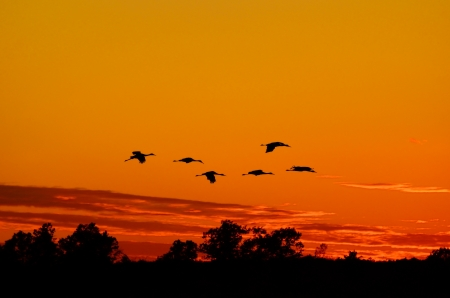 roosting: Silhouettes of Sandhill Cranes  Grus canadensis  Flying at Sunset Stock Photo
