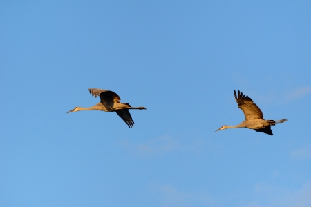roosting: A Pair of Sandhill Cranes  Grus canadensis  Flying