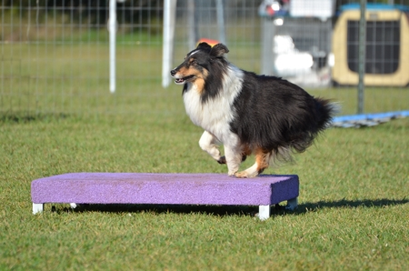 tricolour: Tricolor Shetland Sheepdog Sheltie on a Pause Table at Dog Agility Trial Stock Photo