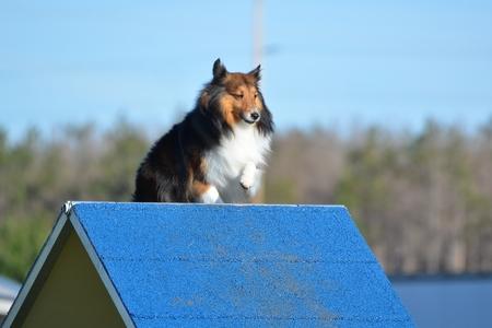 tri  color: Tricolor Shetland Sheepdog (Sheltie) Climbing an A-frame at Dog Agility Trial