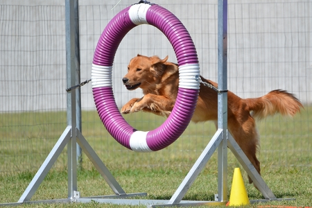 canine: Golden Retriever Jumping Through a Tire at a Dog Agility Trial Stock Photo