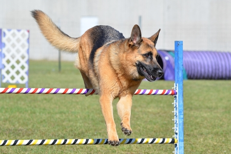 dog agility: German Shepherd Leaping Over a Jump at a Dog Agility Trial