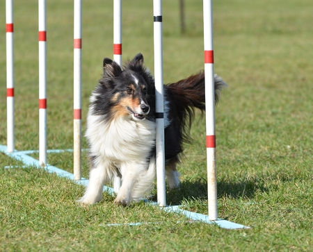 weave: Tricolor Shetland Sheepdog (Sheltie) Weaving Through Poles at Dog Agility Trial Stock Photo