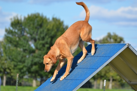 yellow yellow lab: Yellow Labrador Retriever on an A-frame at Dog Agility Trial