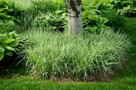 ornamental shrub: Backyard Landscaping with Variegated Ribbon Grass and Hostas