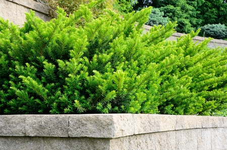 tiers: Tiered Retaining Wall with Yew (Taxus) Evergreen Shrubs