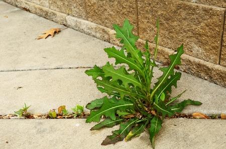 Weed (sonchus - Sonchus) que crece en la grieta de la acera Foto de archivo