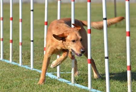yellow yellow lab: Yellow Labrador Retriever Doing Weave Poles at Dog Agility Trial Stock Photo