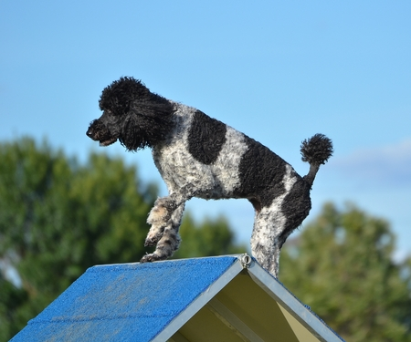 Spotted (Particolor) Standard Poodle on an A-frame at Dog Agility Trial Stock Photo - 52487939