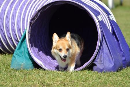 dog agility: Pembroke Welch Corgi Leaving Tunnel at a Dog Agility Trial Stock Photo