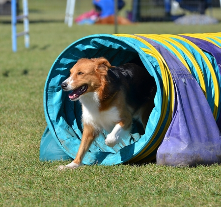 tricolour: English Shepherd Leaving a Tunnel at a Dog Agility Trial Stock Photo