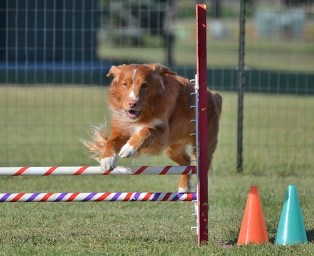 gundog: Nova Scotia Duck Tolling Retriever Leaping Over a Jump at a Dog Agility Trial