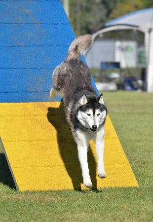 agility: Siberian Husky on an A-frame at Dog Agility Trial