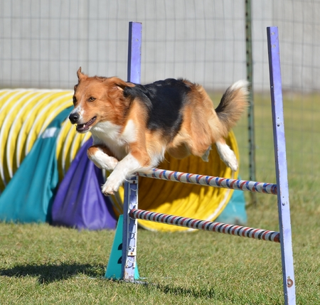 large dog: English Shepherd Leaping Over a Jump at a Dog Agility Trial