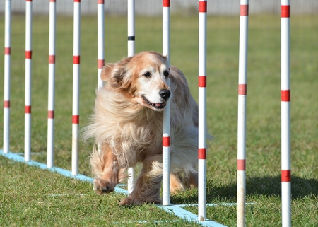 weave: Golden Retriever Doing Weave Poles at Dog Agility Trial