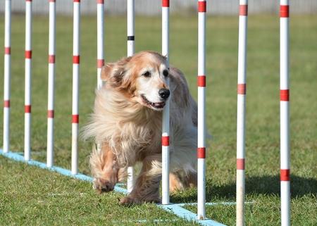 dog agility: Golden Retriever Doing Weave Poles at Dog Agility Trial