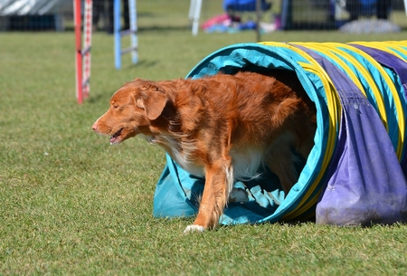gundog: Nova Scotia Duck Tolling Retriever Leaving a Tunnel at a Dog Agility Trial Stock Photo