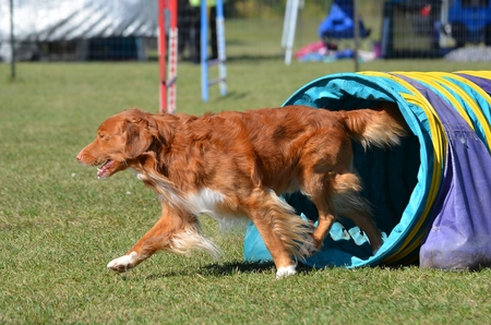 purebreed: Nova Scotia Duck Tolling Retriever Leaving a Tunnel at a Dog Agility Trial Stock Photo