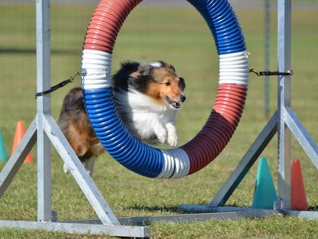 tricolor: Tricolor Shetland Sheepdog (Sheltie) Leaping Through a Tire at Dog Agility Trial Stock Photo