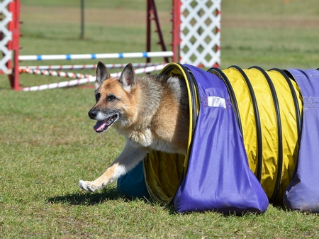 dog agility: German Shepherd Leaving Tunnel at a Dog Agility Trial