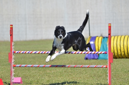 agility dog: Border Collie Leaping Over a Jump at a Dog Agility Trial