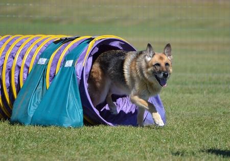 agility: German Shepherd Leaving Tunnel at a Dog Agility Trial