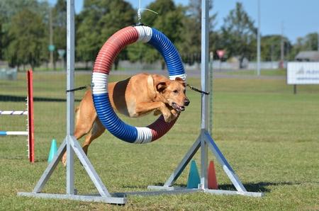yellow lab: Yellow Labrador Retriever Jumping Through a Tire at Dog Agility Trial