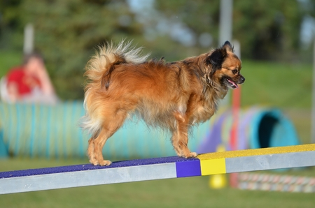 long haired chihuahua: Long Coat Chihuahua on a Teeter-Totter at a Dog Agility Trial Stock Photo