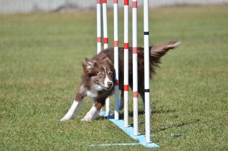 agility dog: Border Collie Weaving Through Poles at a Dog Agility Trial