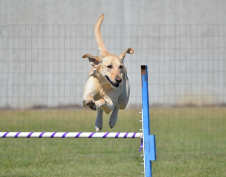 yellow yellow lab: Yellow Labrador Retriever Leaping Over a Jump at Dog Agility Trial