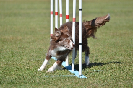 dog agility: Border Collie Weaving Through Poles at a Dog Agility Trial