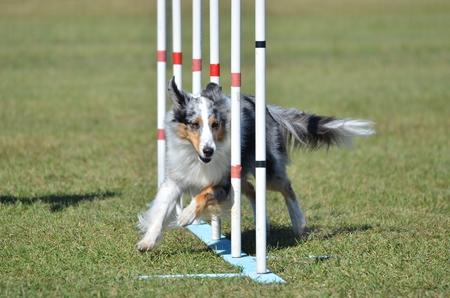 agility dog: Blue Merle Shetland Sheepdog (Sheltie) Weaving Through Poles at Dog Agility Trial Stock Photo